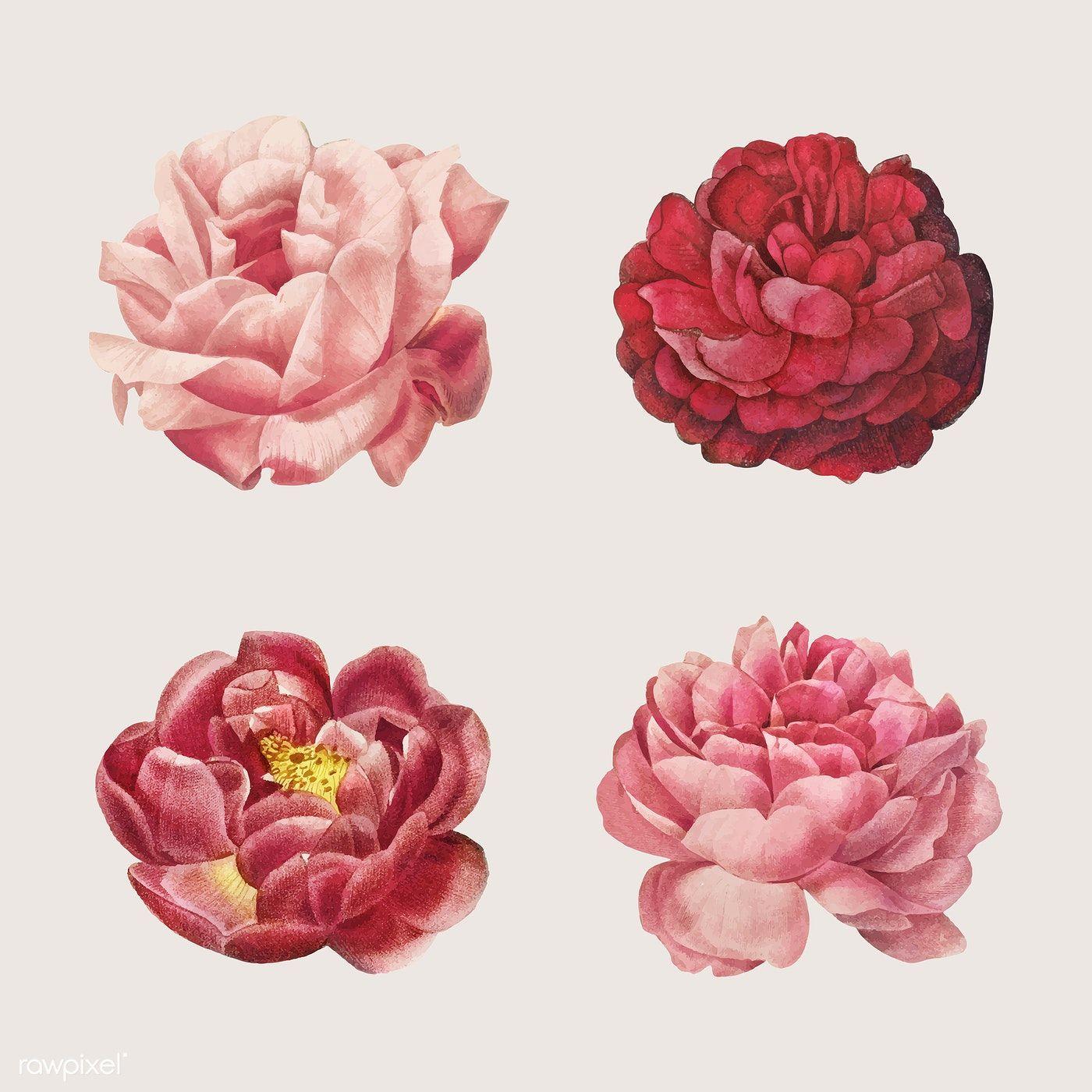 Download Premium Vector Of Vintage Rose Flower Vector Set 2253947 In 2020 Flower Illustration Rose Flower Beautiful Rose Flowers