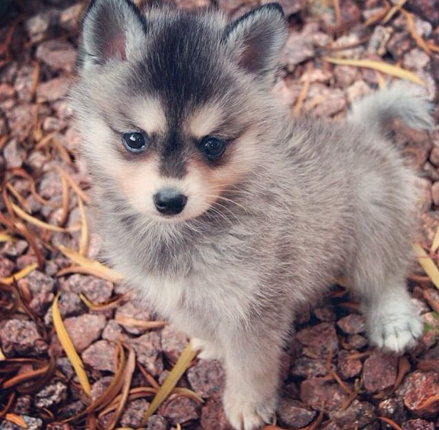 Alaskan Klee Kai puppy Animals Funny Sweet Sad, Dogs