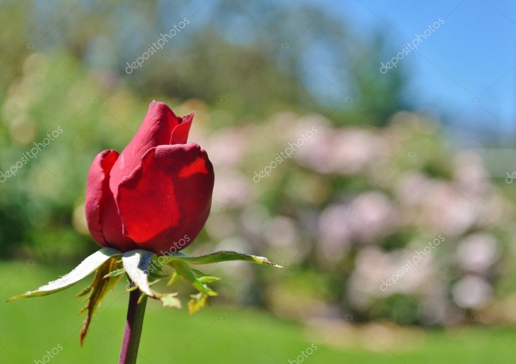 Red rose bud - Stock Photo , #sponsored, #rose, #Red, #bud, #Photo #AD