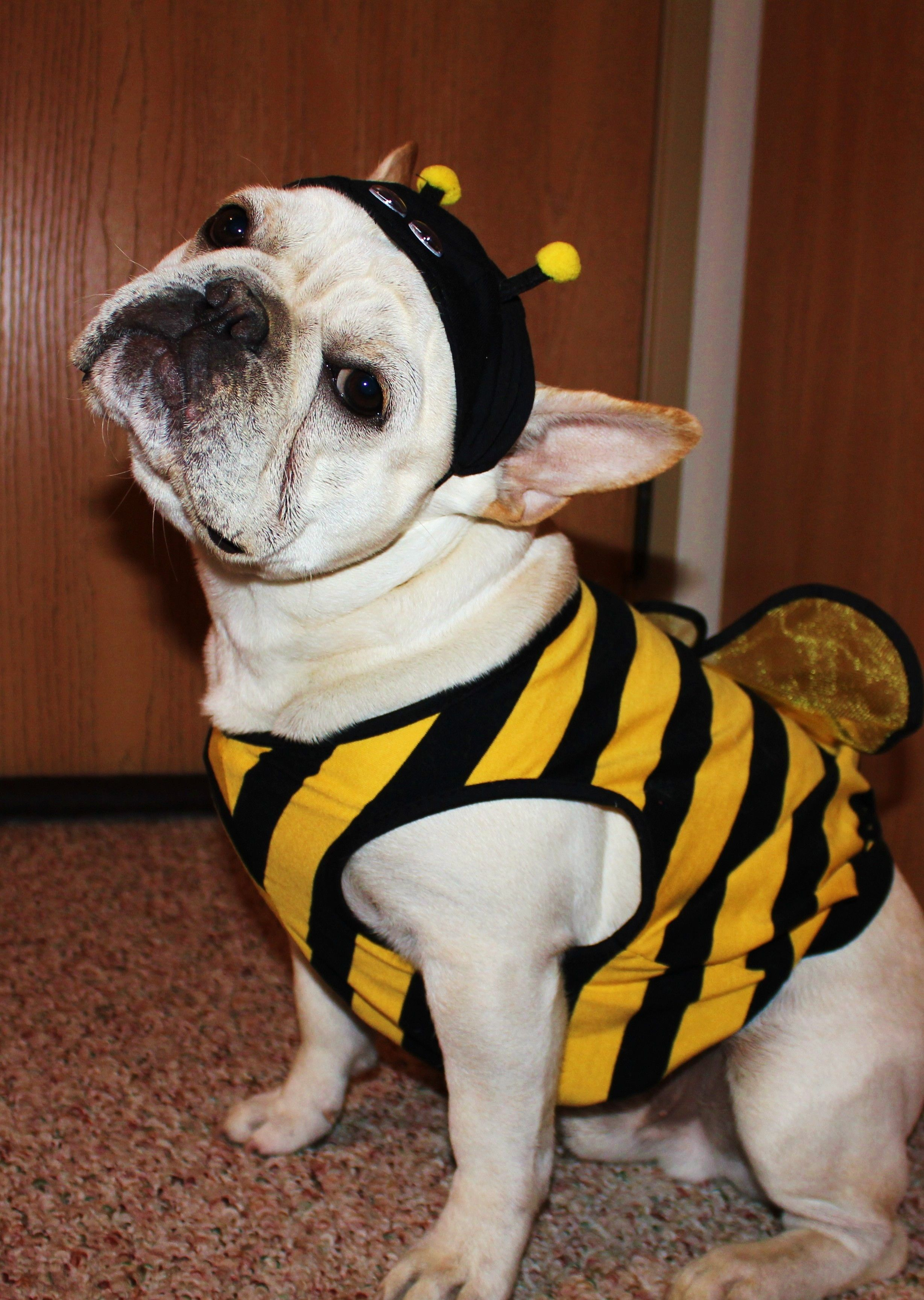 French Bulldog Halloween Costume-Bee-DEXTER! | Frenchies ...