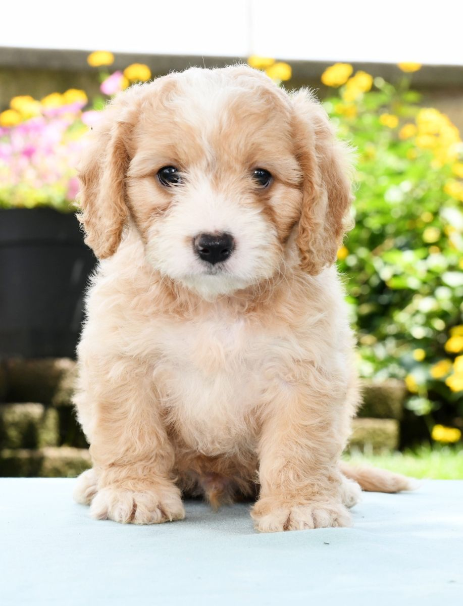 Patient Cavachon Cavachon Puppies Cute Animals Dachshund Puppies