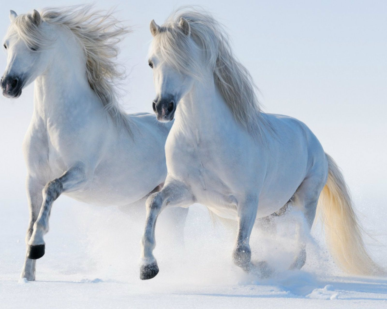 Most beautiful white horse hd wallpapers lo imgenes most beautiful white horse hd wallpapers thecheapjerseys Choice Image