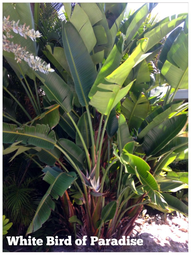 White Bird Of Paradise A Dense Tropical Privacy Screen With An