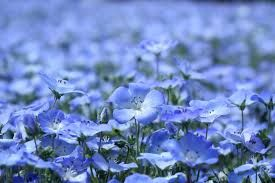 Fleur Bleue Lin Recherche Google Lin Photo Fleurs Fleurs