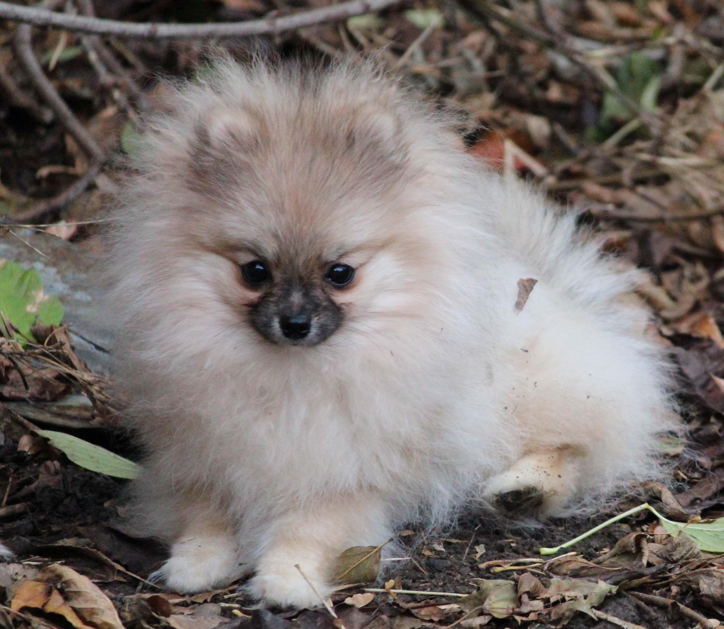 Image Result For Pomeranian Color Chart Pomeranians Pinterest