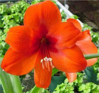 Red Amaryllis Red Amaryllis Amaryllis Bulbous Plants