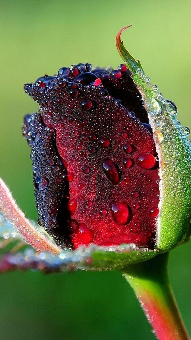 Single Rose With Water Drops Rose Buds Beautiful Rose Flowers Beautiful Roses