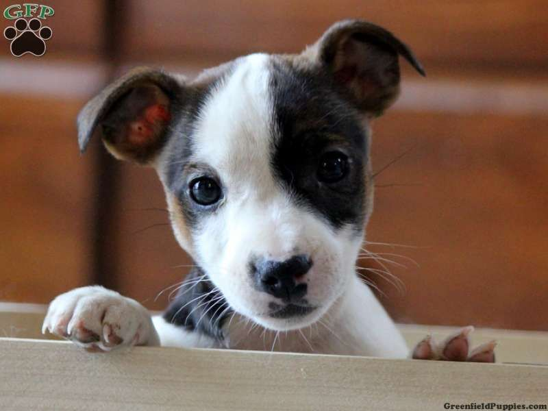 Gladys, a sweet little Jack Russell pup for sale in