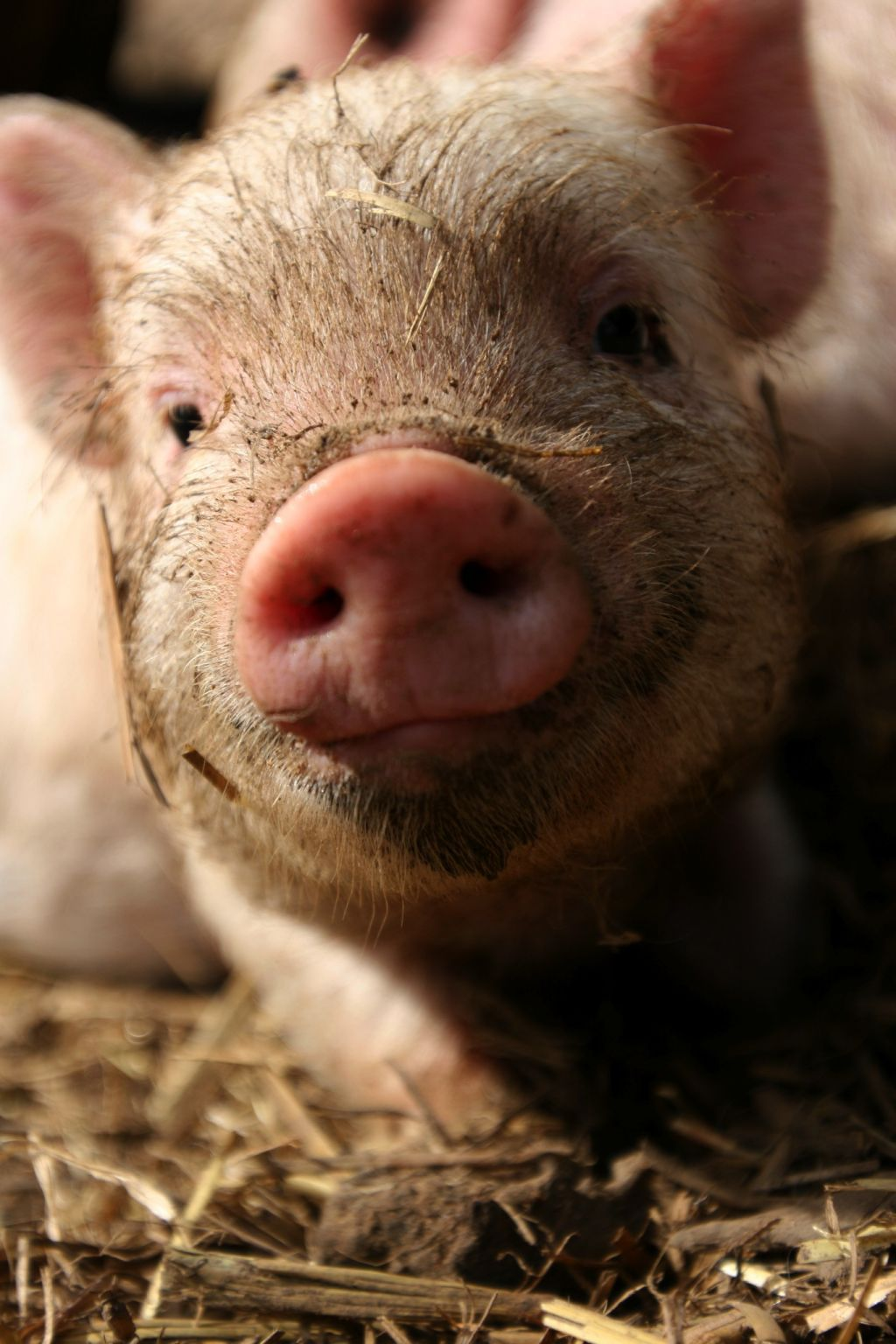 Pigs Are Very Intelligent Highly Social And Deeply Emotional Animals They Display Many Different Personalities There Teacup Pigs Baby Animals Cute Animals
