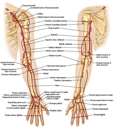 Vascular anatomy of the arm