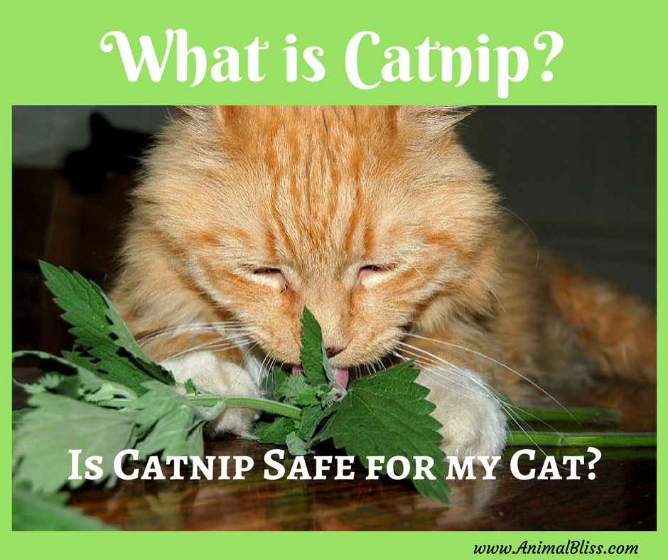 What Is Catnip Is Catnip Safe For My Cat Catnip Cats Cat Love