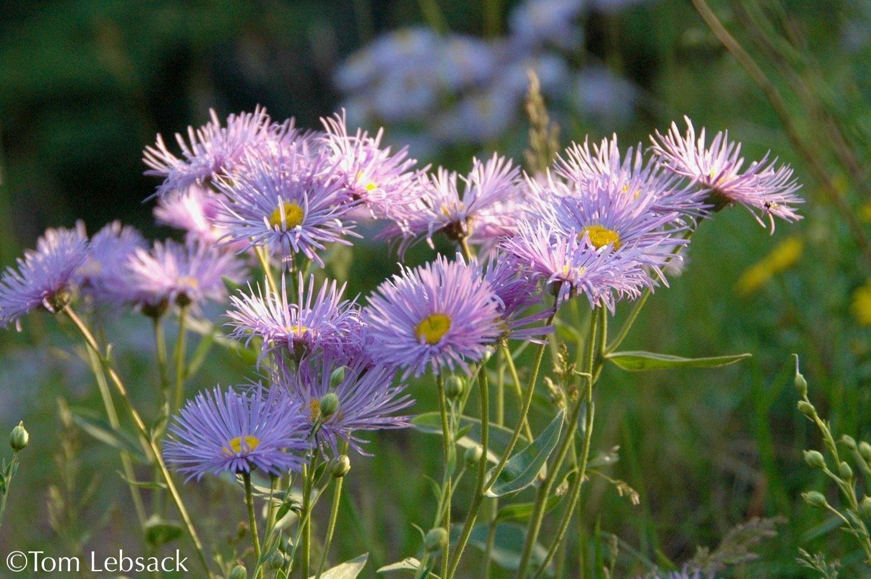 Erigeron species aspen daisy bloom in su 12 24 purple showy erigeron species aspen daisy bloom in su 12 24 purple izmirmasajfo Image collections