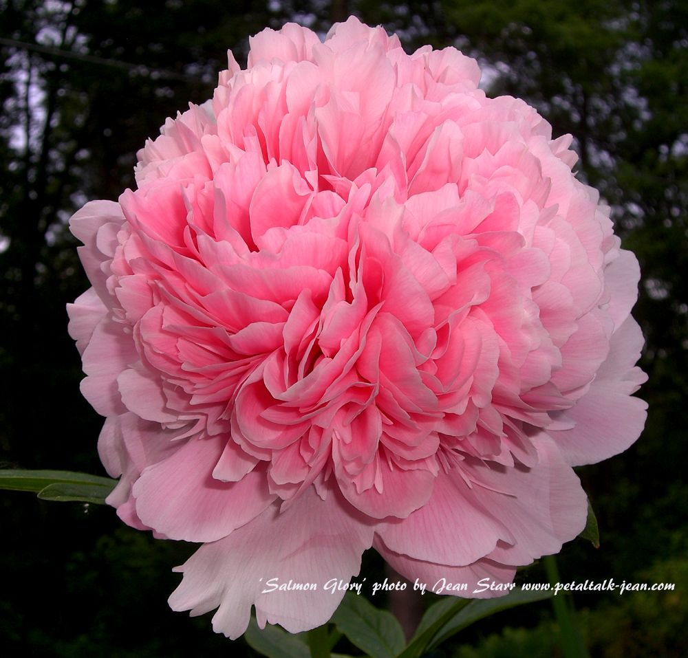 Life After Peonies Tah Rah Rah Bloom A Day Continues Pink