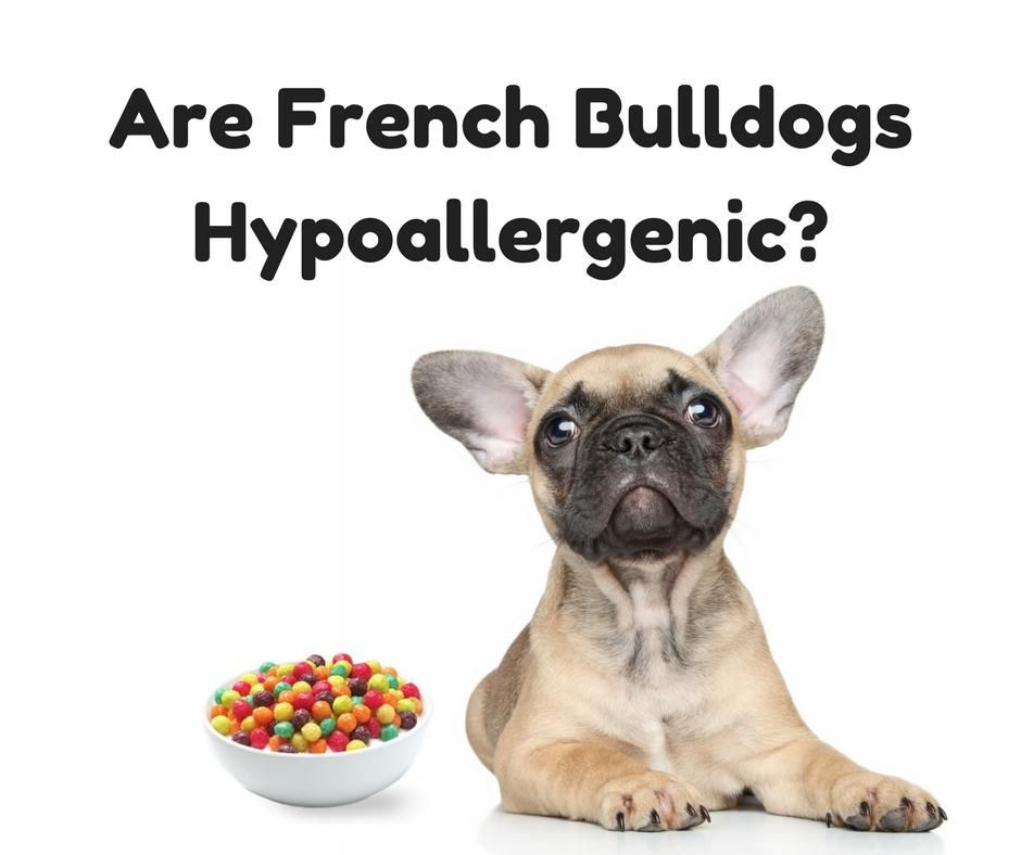 Are french bulldogs hypoallergenic french bulldog dog