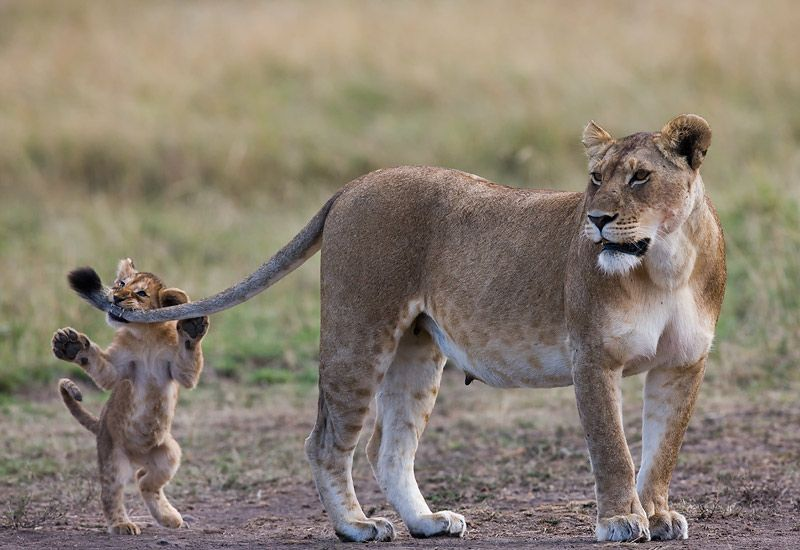 Lion cub Panthera leostanding up and biting lioness tail