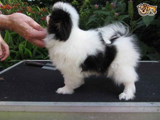 Japanese Chin Puppies For Sale Japanese Chin Puppies Pug