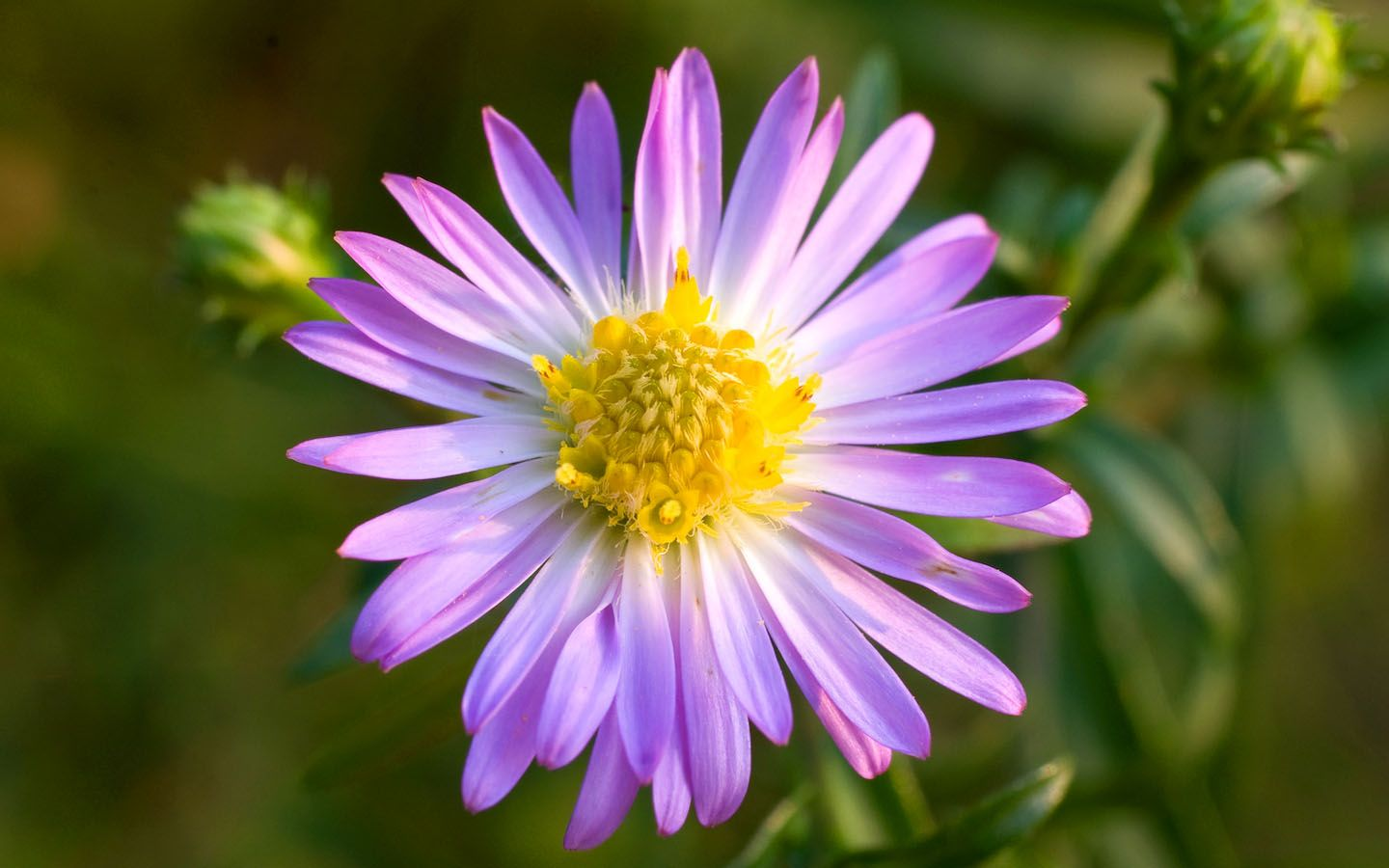 Aster September Birth Flower (Britain) Aster flower