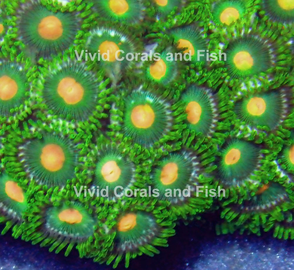 Green Bay Packer Zoa Live Corals Sps Lps Zoas Palys Palythoas Zoanthids Green Bay Packers Coral Green Bay