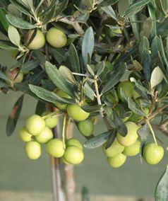 verde oliva olive tree close up olivos pinterest olive tree olive gardens and fruit. Black Bedroom Furniture Sets. Home Design Ideas