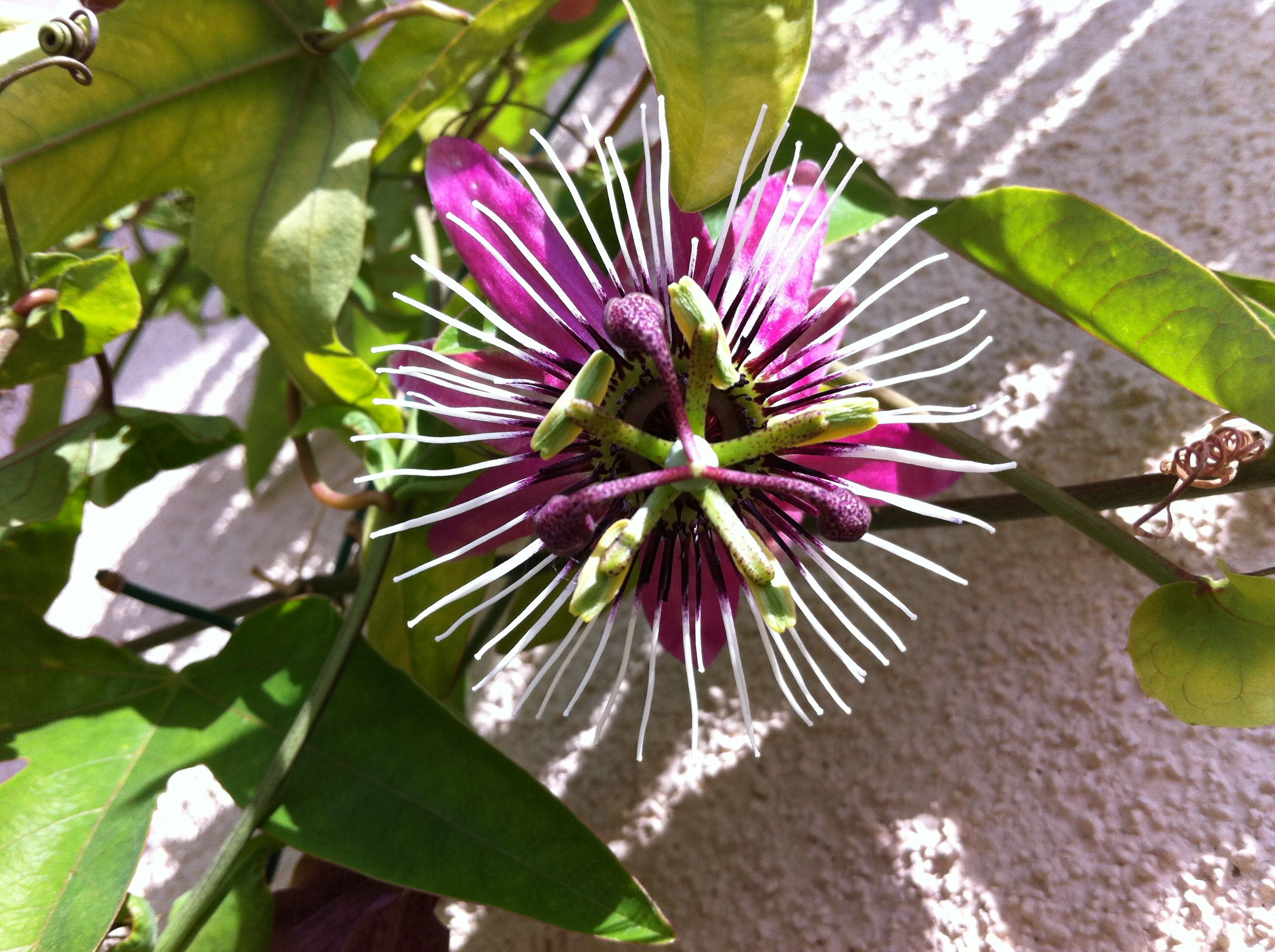 passion flower from the vines growing on my patio