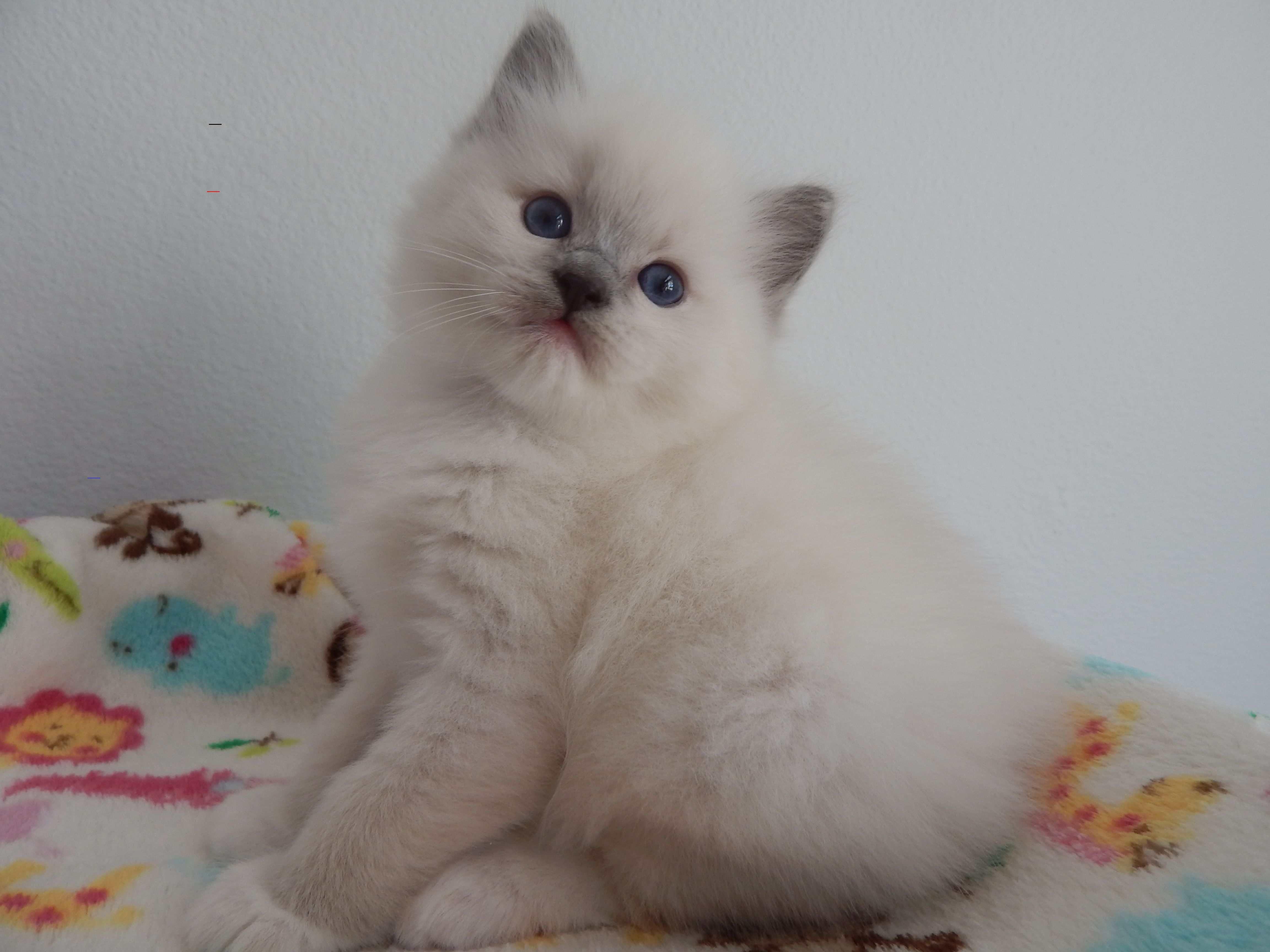 Ragdollkittens In 2020 Ragdoll Kitten Ragdoll Cattery Ragdoll Kittens For Sale