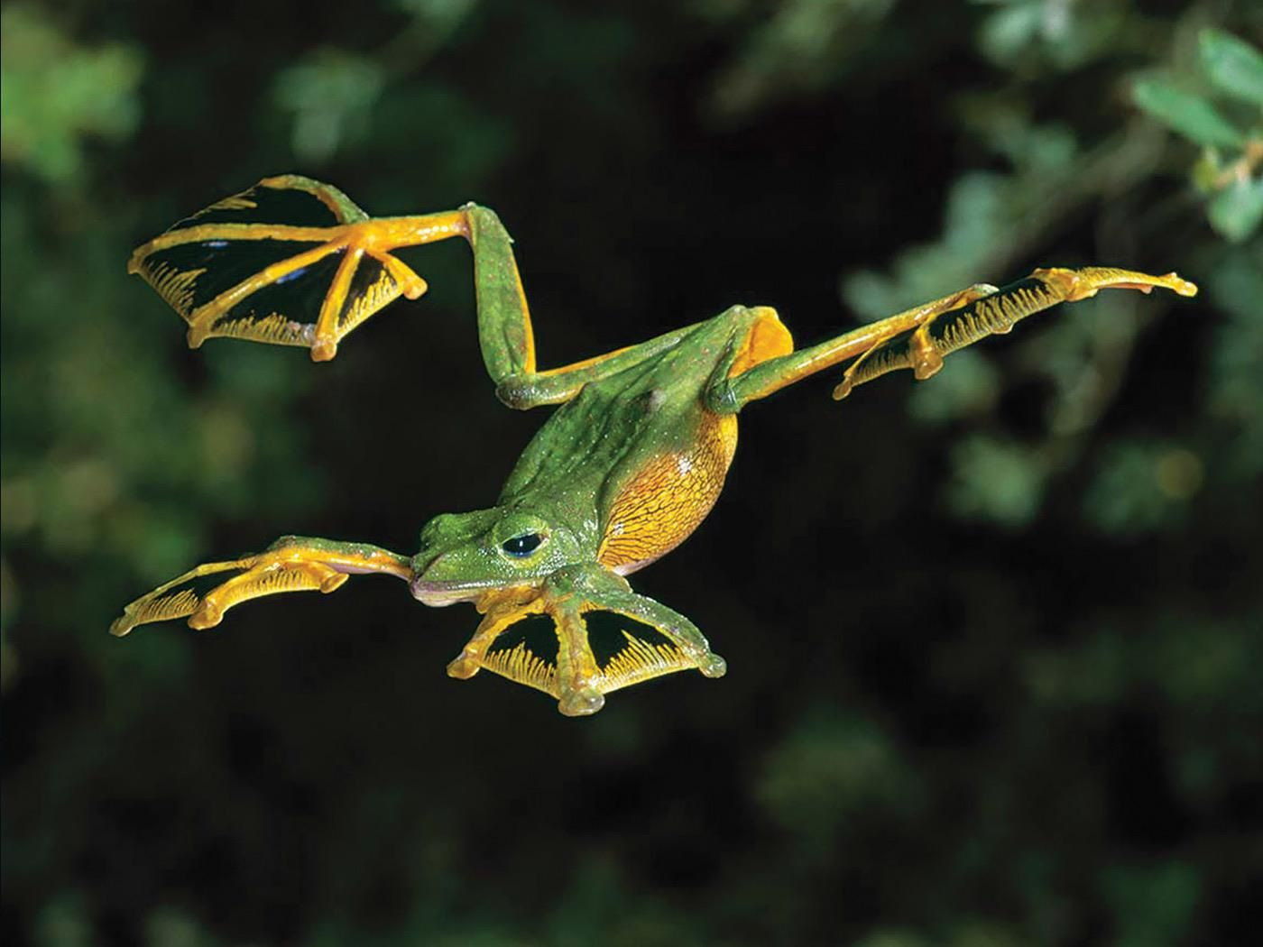 Wallaces Flying Frog