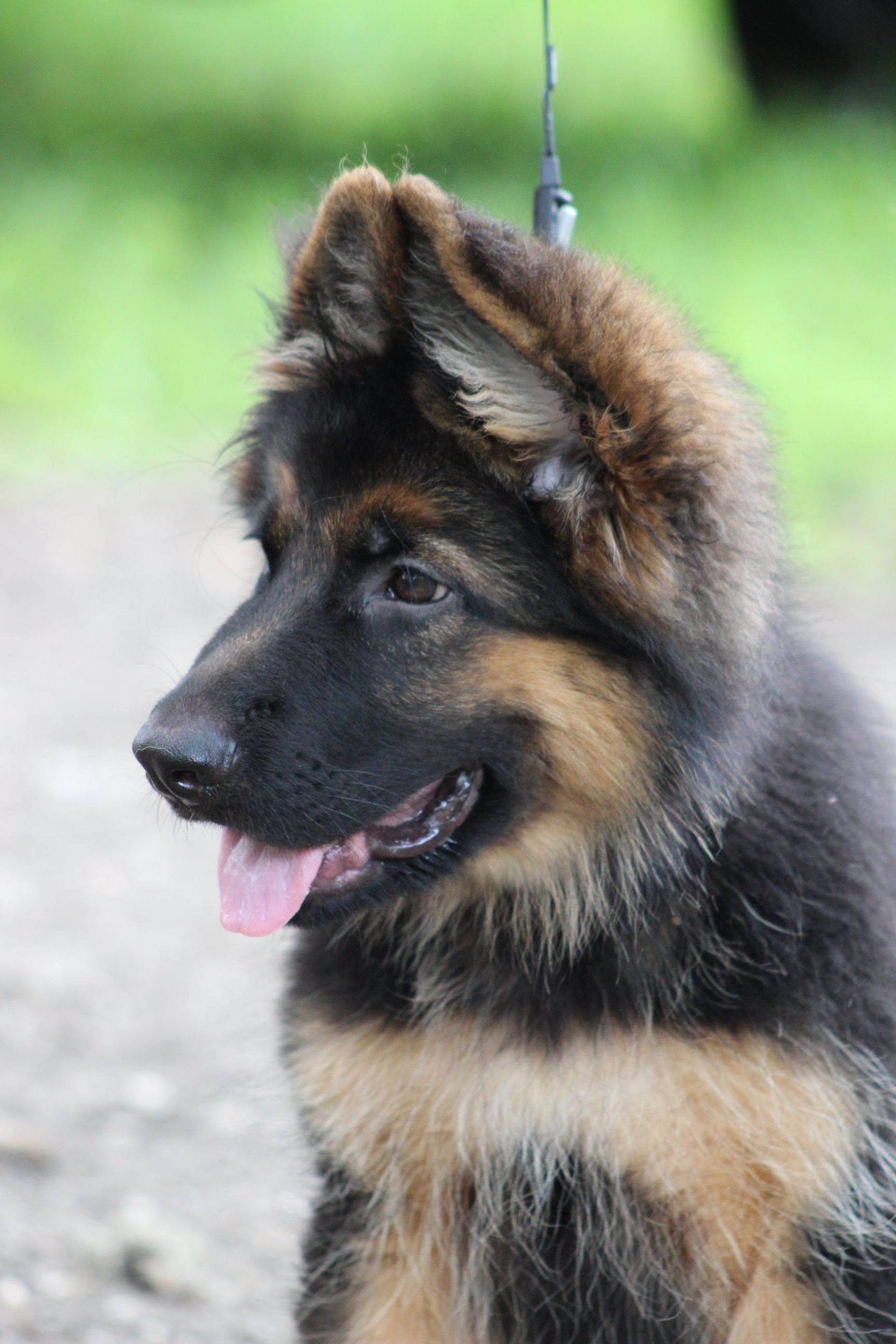 Pin by Southernwind Designs on German Shepherds