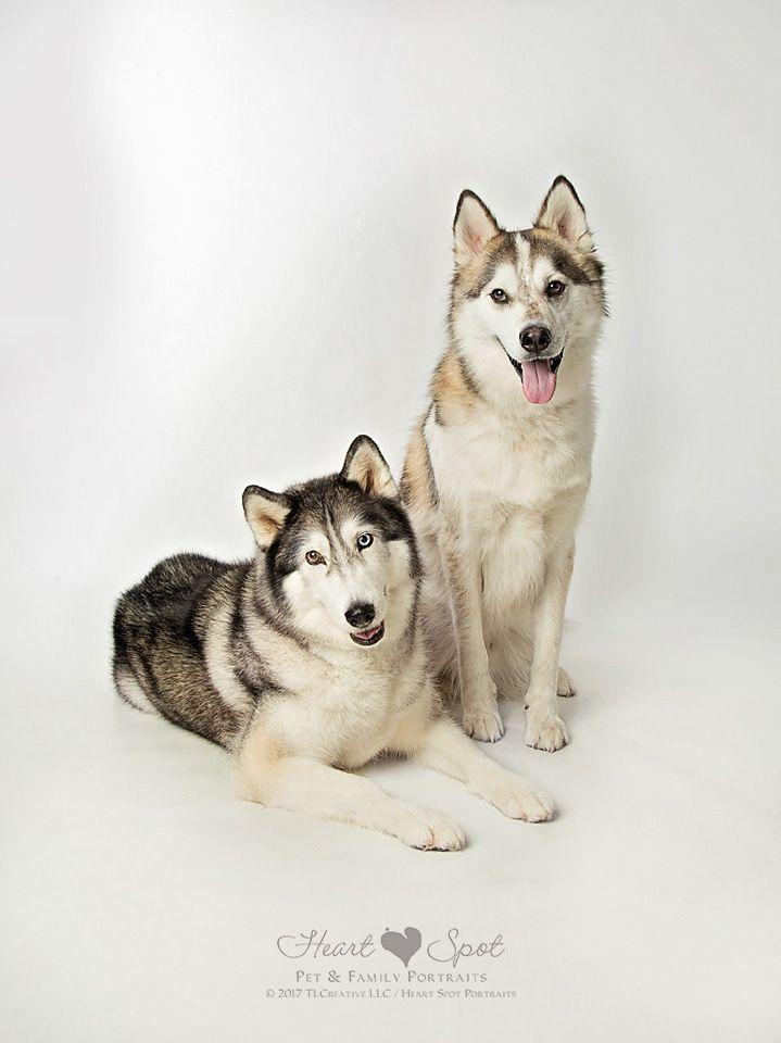 Siberian Huskies By Heart Spot In Braselton Ga Husky Dogs