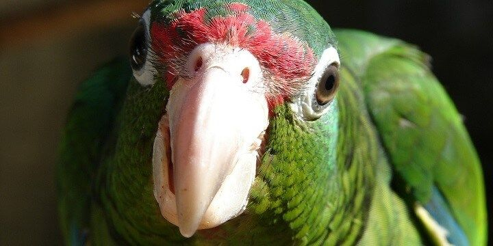 El Yunque Rainforest Parrot, Puerto Rico