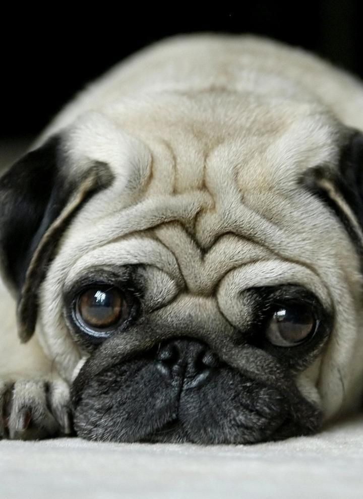 Listicle Slide 1 Pugs Dogs Cute Pugs