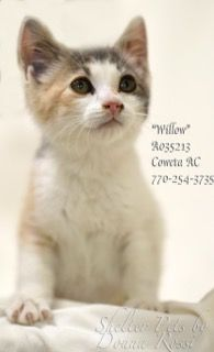 """CR-36WillowA035213pic1.jpg  CR-36WillowA035213pic2.jpg  CR-36WillowA035213pic3.jpg   CR-36  URGENT!                                           Breed:     DSH Dilute Calico     Sex:         Female     Age:         Baby                Size:        Small     ID:           A035213     Shelter Name:  """"Willow""""     Vaccinated  PLEASE CONTACT COWETA COUNTY ANIMAL CONTROL TO ADOPT THIS PET: 770-254-3735. The address is 91 Selt Road, Newnan, GA.  """"Willow"""" is a precious, innocent little baby who…"""