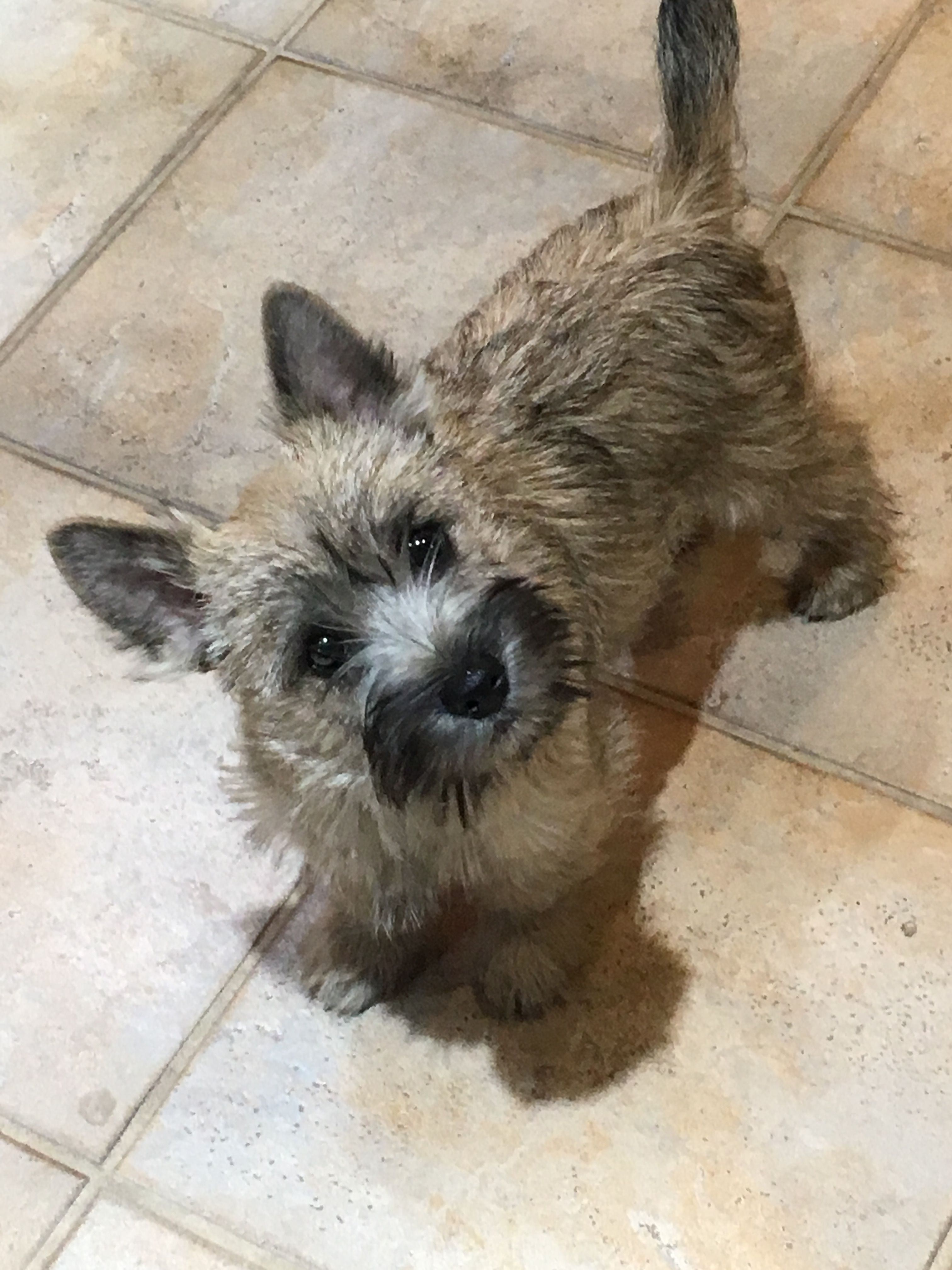 Buddy With Images Cairn Terrier Puppies Cairn Terrier Cute