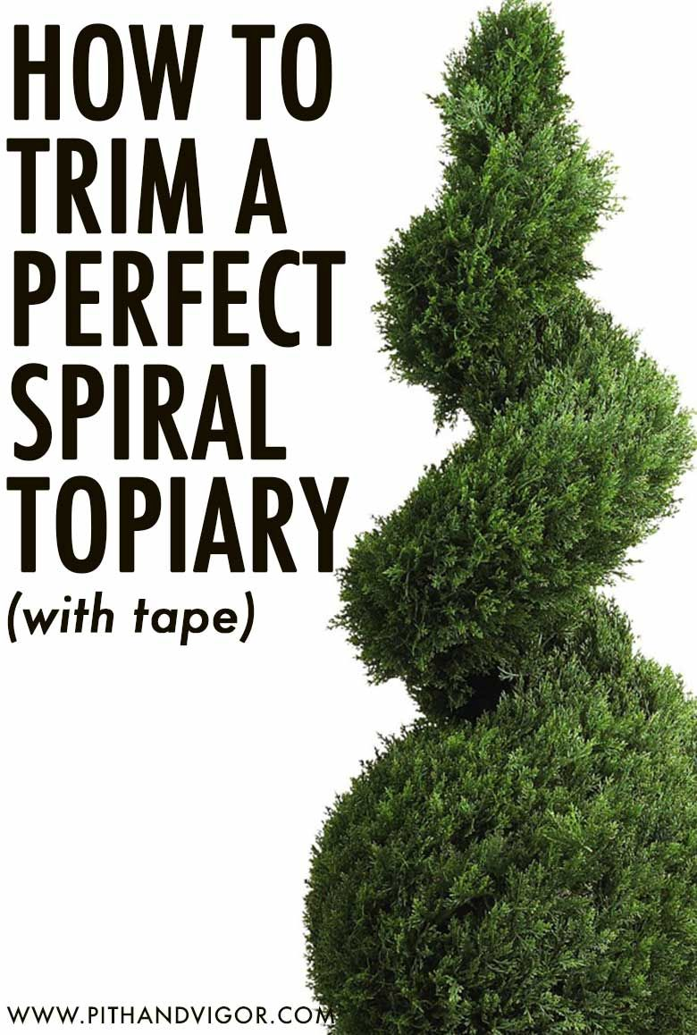 How To Trim A Perfect Spiral Topiary Trim Topiary Topiary