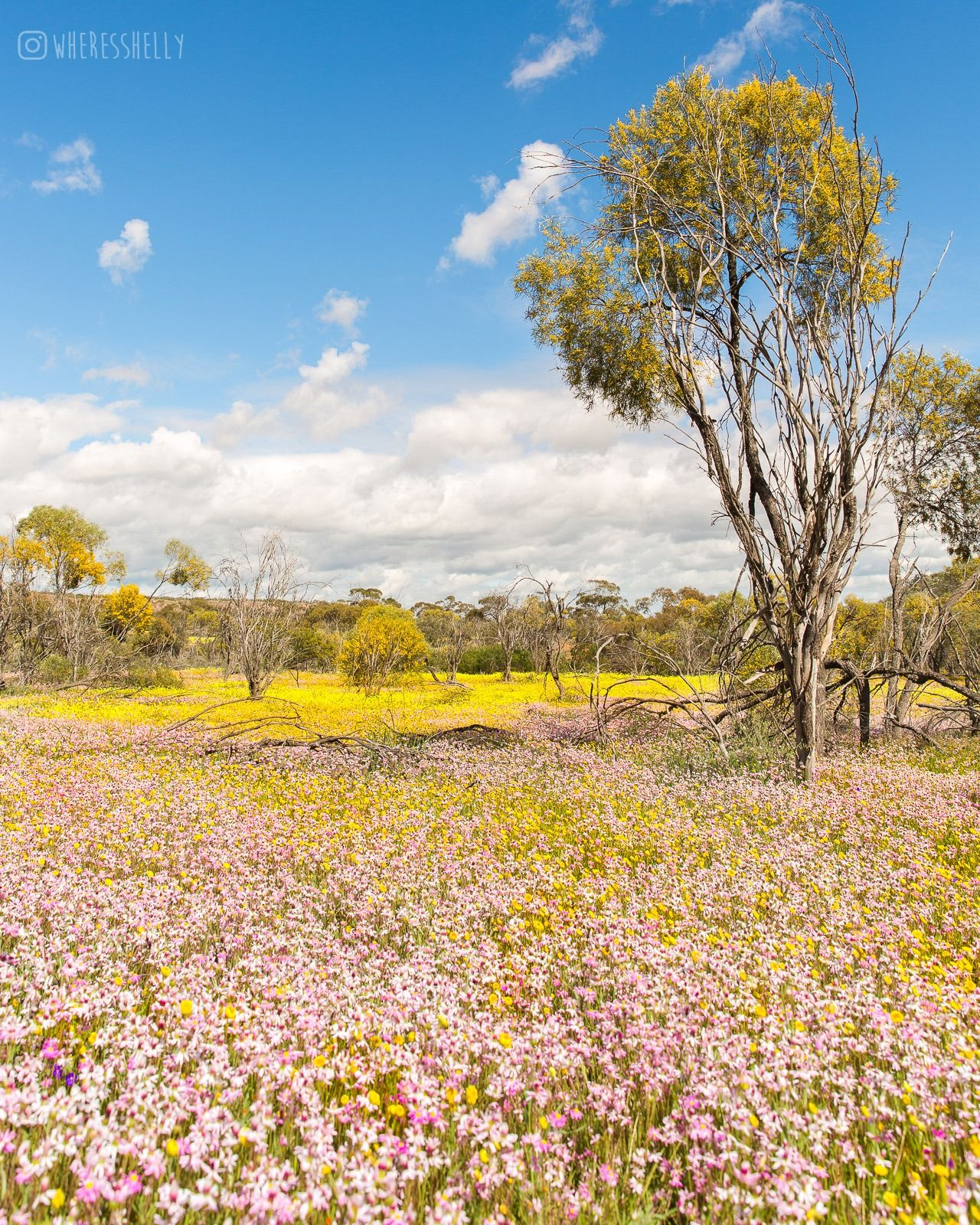 Wildflowers in Western Australia Australian wildflowers