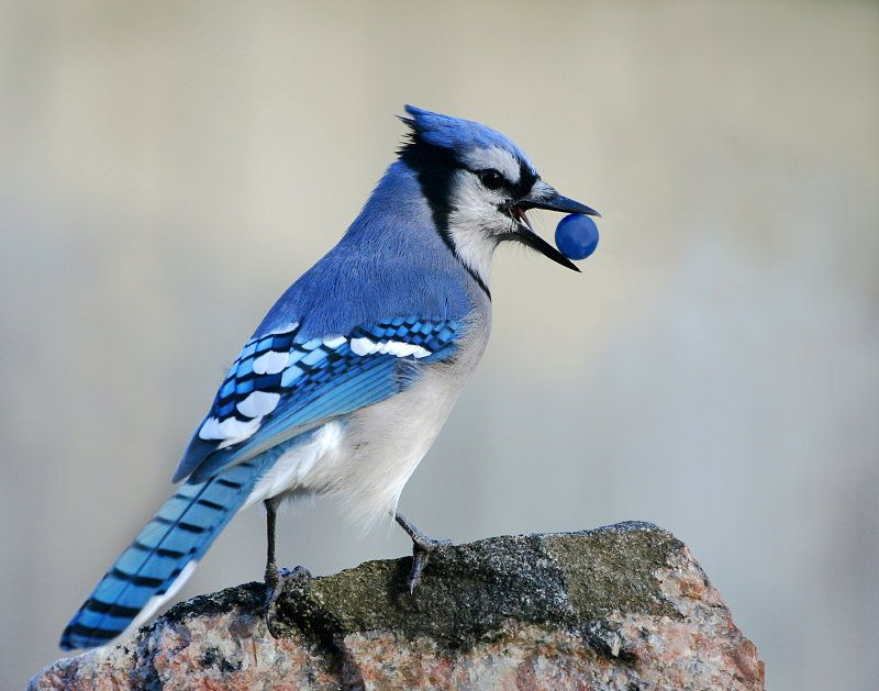 Pin On Beautiful Blue Jays