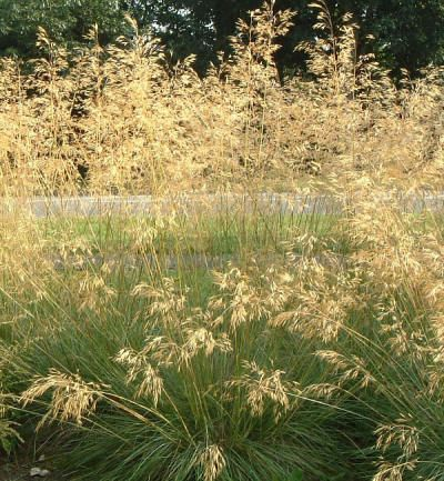 Stipa gigantea giant feather grass mass 2 3 39 grow to 6 for Tall feather grass
