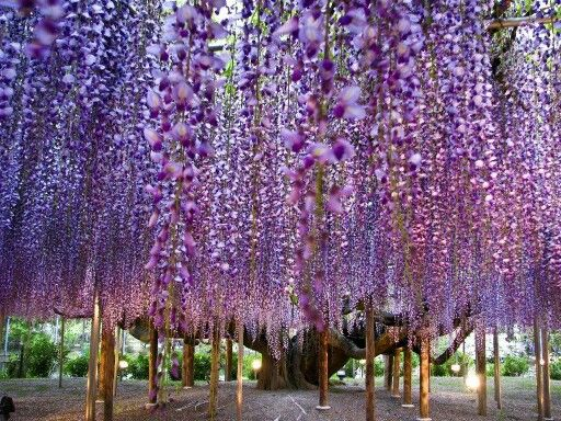 Wisteria Tree Although technically part of the pea family, the wisteria tree, native to China, Korea and Japan is recognized by its long twining vines and bright, positive purple, violet or pink flowers. This particular tree has been aged at over one hundred and forty years old and is a beacon of hope for the people of Japan among other places.
