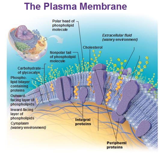plasma membrane Plasma membrane, Science cells, Human