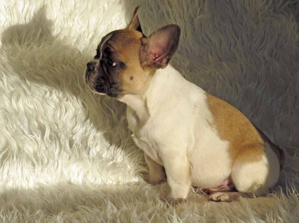 Fawn Pied Male French Bulldog Puppy French Bulldog Puppies Cute