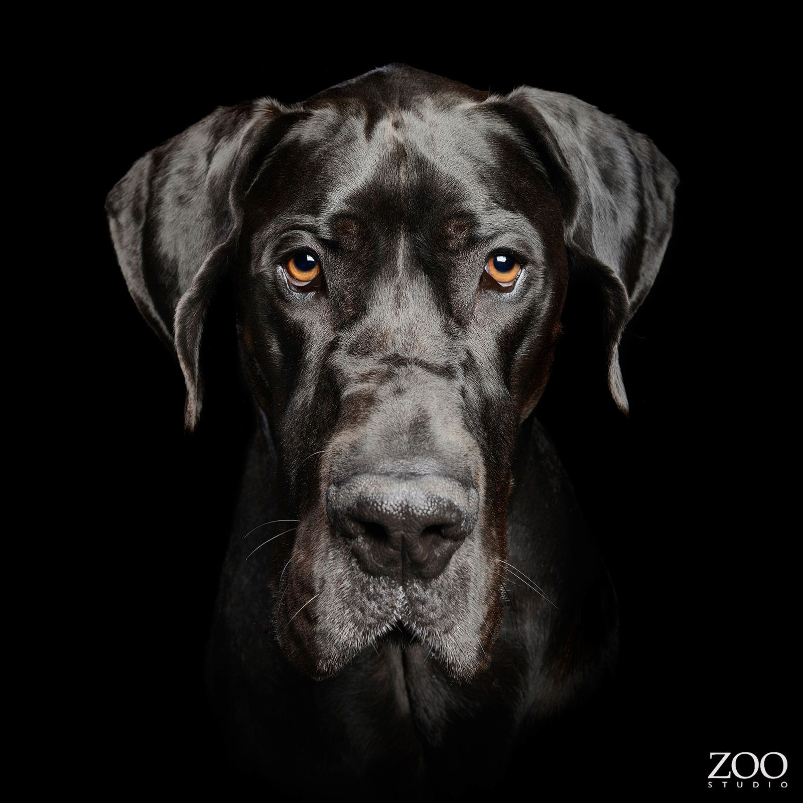 Maximus The Great Dane Zoo Studio Pet Photography Brisbane Dog Photography Studio Dog Photoshoot Pet Photography Studio