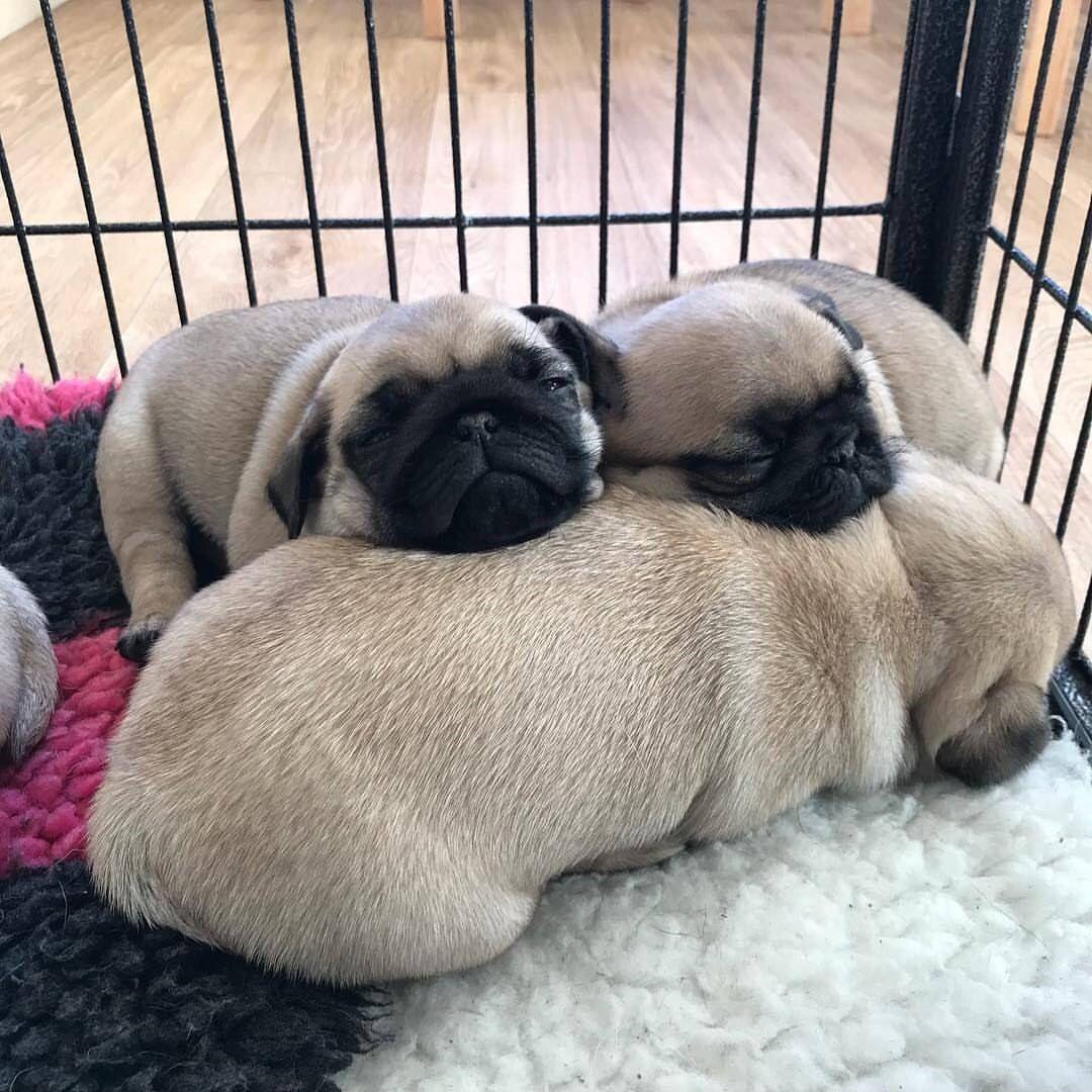 Pug snugs