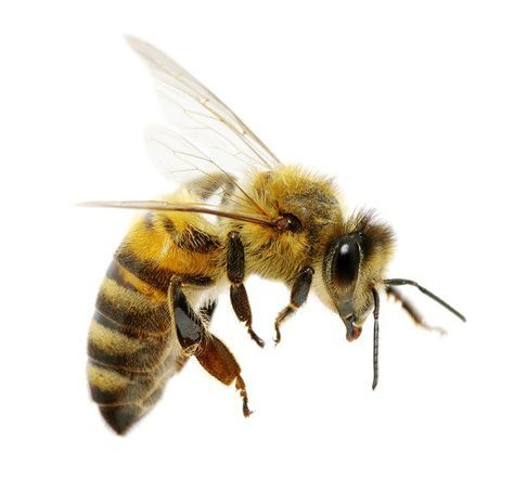 Our honeybees are in crisis and there are serious effects already in motion due to the loss of these precious and very useful creatures. Without honeybees our flora, fauna and our food sources are going to disappear. There are currently 250 species of bee in the UK and only 25 of them are British natives.  Facts Since the 50s more than half of our native bee population has disappeared 3 species are extinct 5 are under serious threat of extinction and 2 are very close to that threat Top 3 tip...