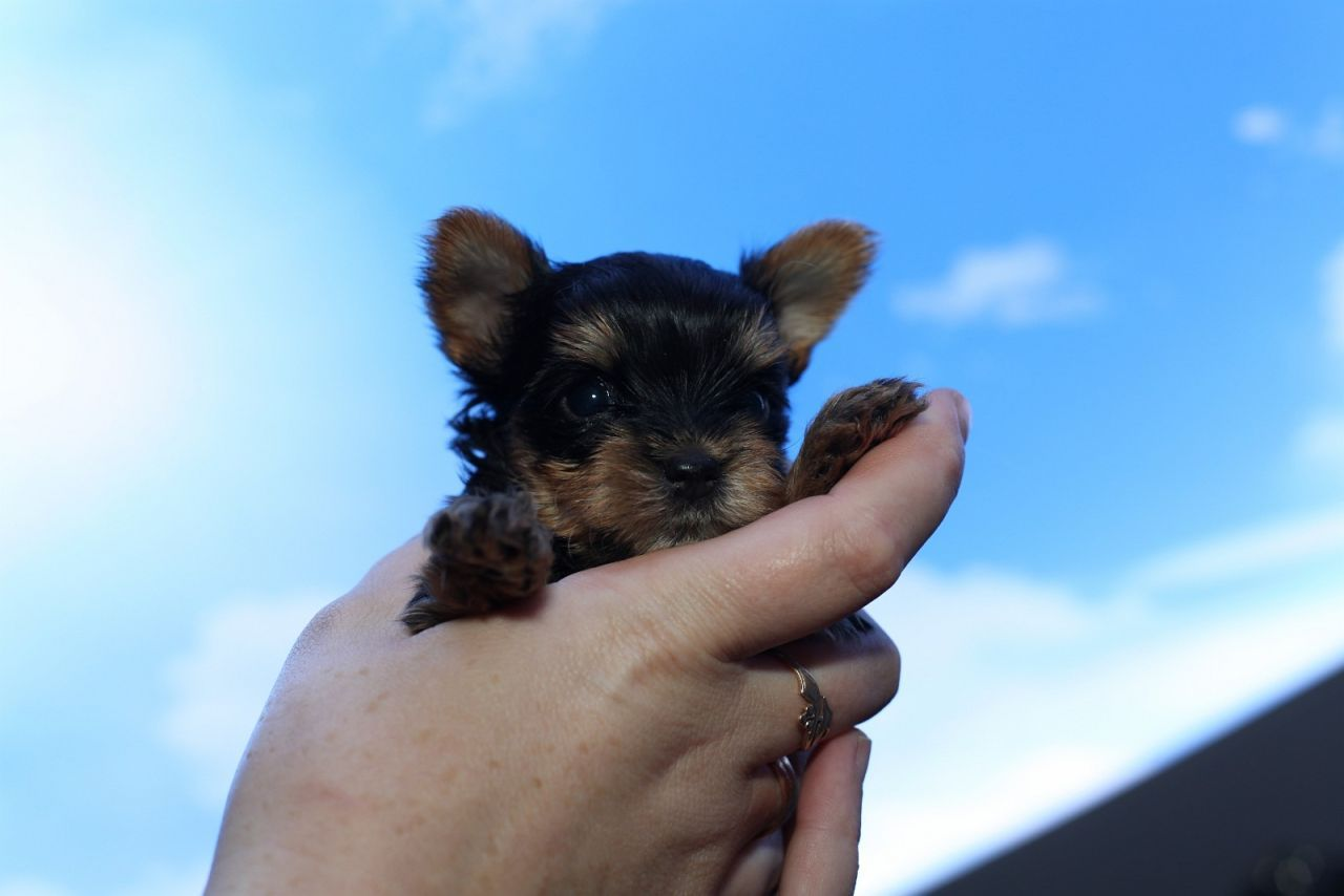Yorkshire terrier valper, registrert i NKK , med veldig godt stamtavle, chip, helseattest, helsebok , ormekur. valpepakke,NKK kontrakt og valp forsikring .Størrelsen til foreldre; er fra 1.5 til 3,5 kg. De er allergivennlig, pga har ikke pels, men menneskelignende hår. Ring 96857773 for hyggelig hundeprat, kun seriøst . Dessverre valper er solgt vi skal ha neste kull og valper cirka i Desember ...