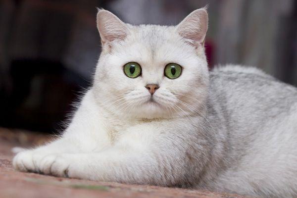 Silver British Shorthair Kittens Katten Dieren