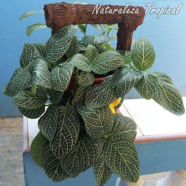 Las fitonias son plantas de interior por excelencia for Plantas decorativas ornamentales
