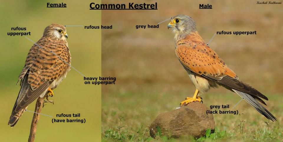 Common Kestrel - Difference Between Male And Female Gender -3352