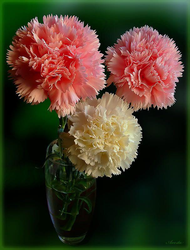 Carnations Carnation Flower Carnations Flowers