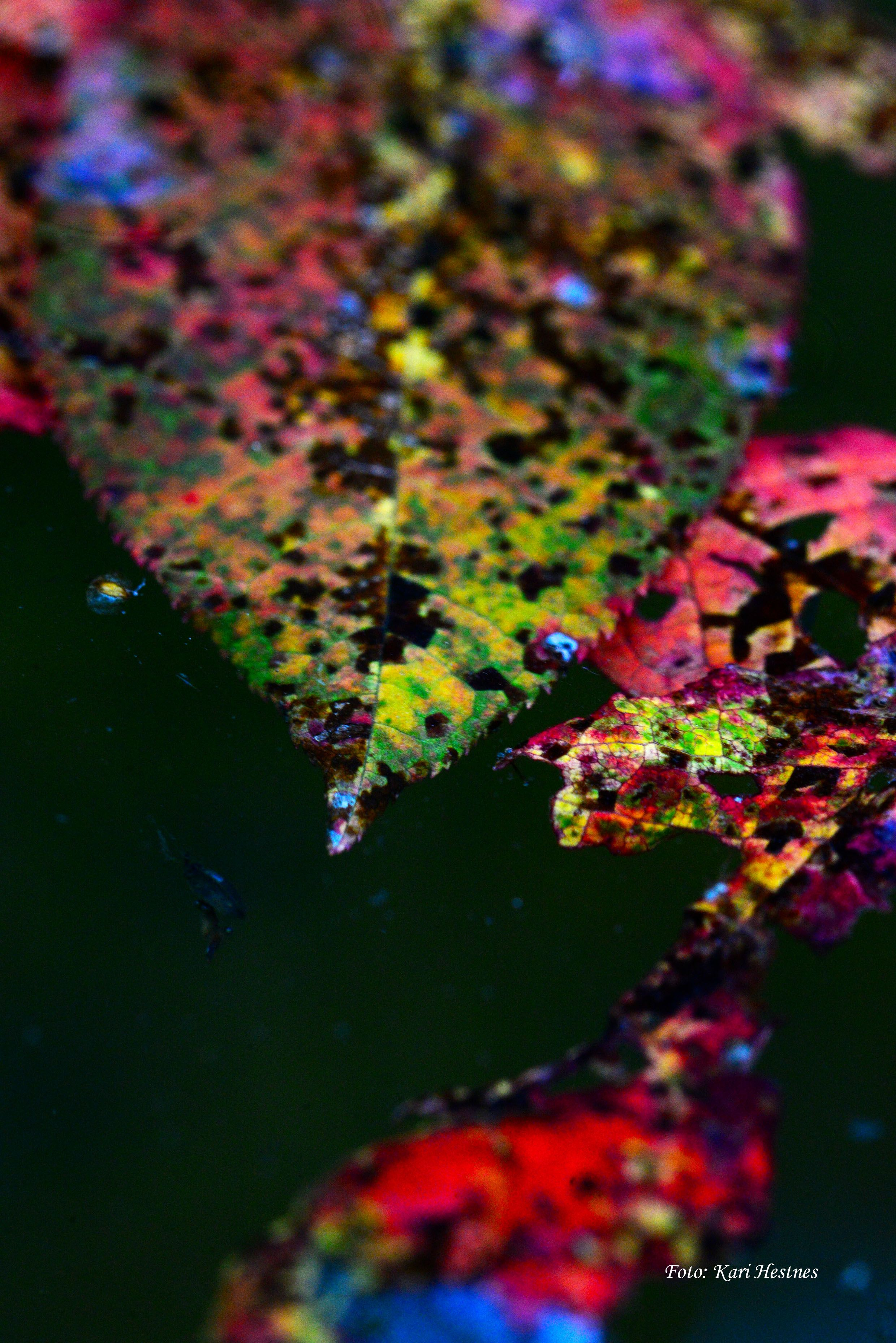 The bauty of death a serie of photograpies I am working on. #photo#Kari Hestnes#the beaty of death#nature#leaves#water