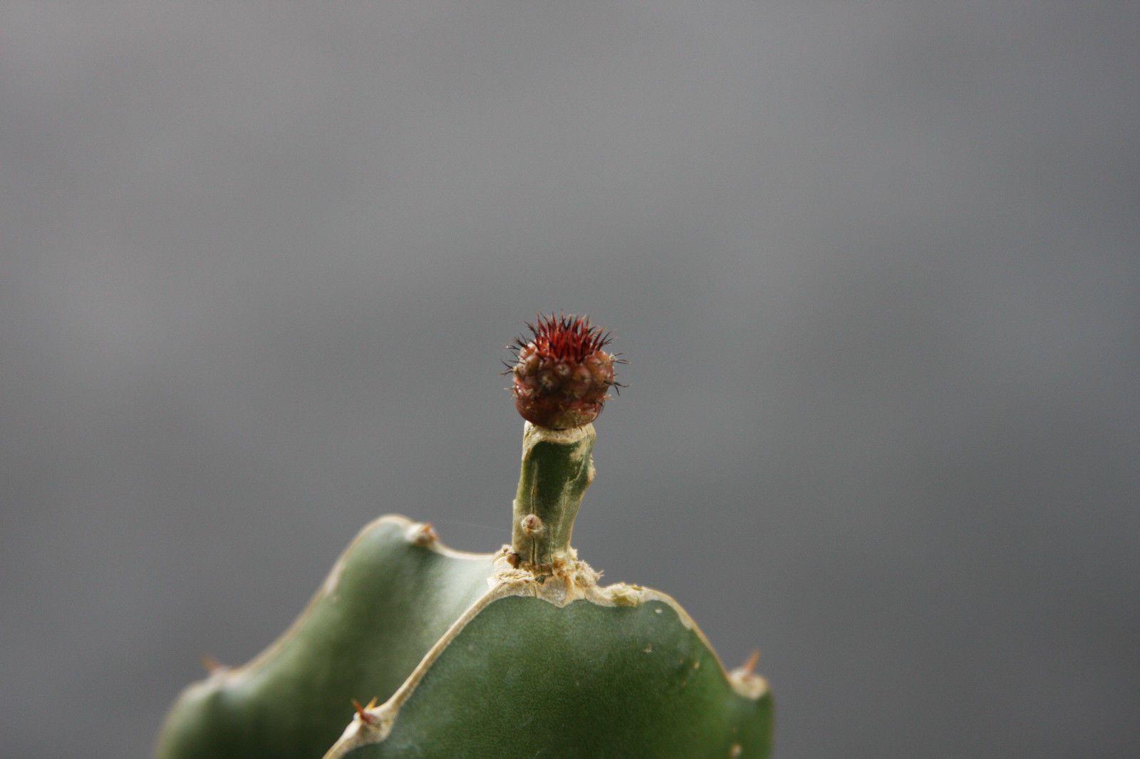 Hylocereus undatus grafting stock  cactus seed 20 SEEDS