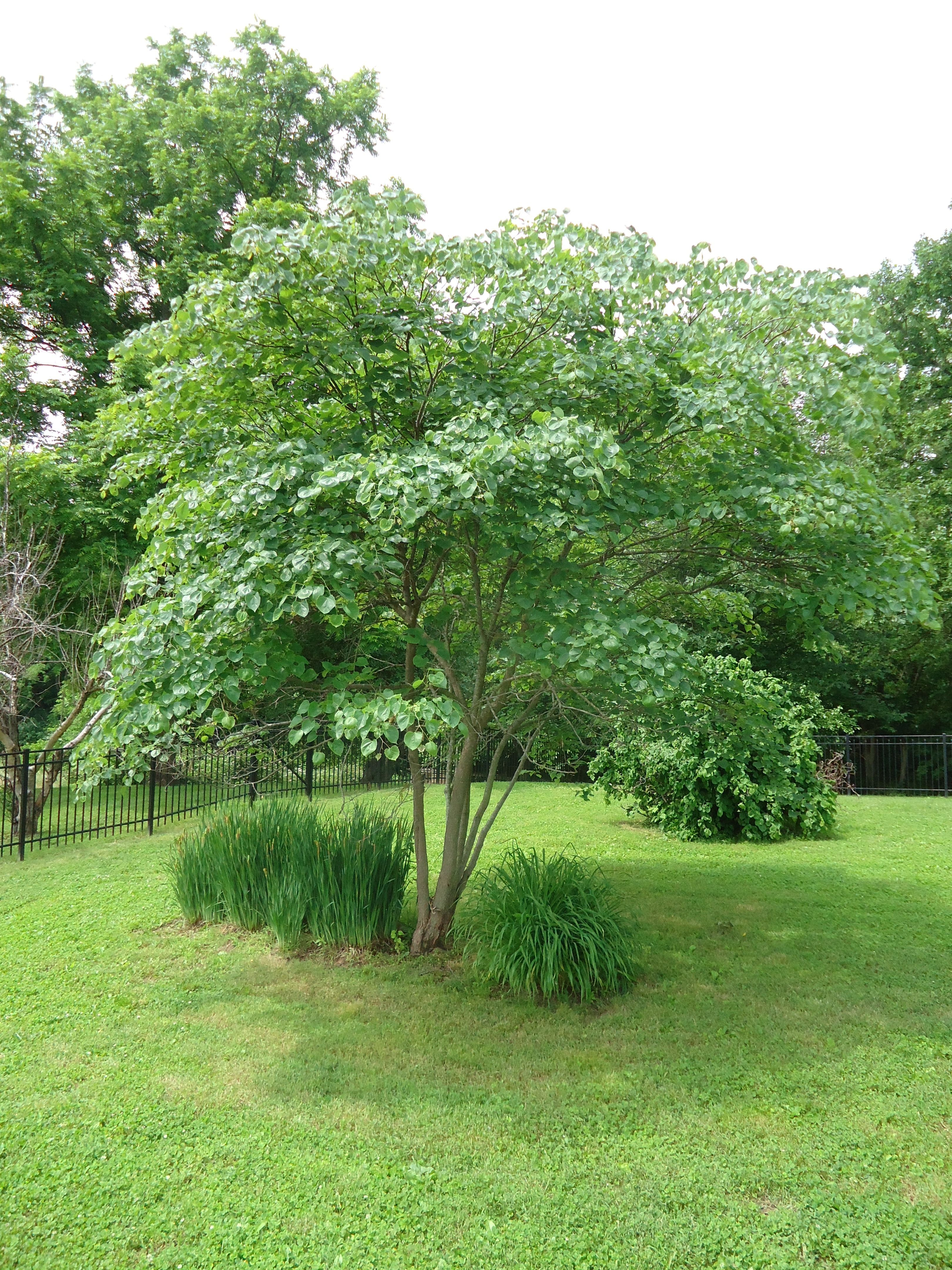 Deciduous Trees Ideal For St. Louis | Greenscape Gardens